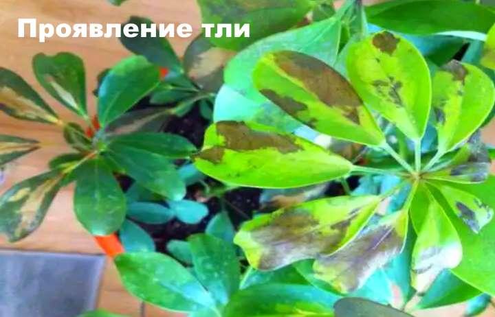 Чрнеют листья шефлеры