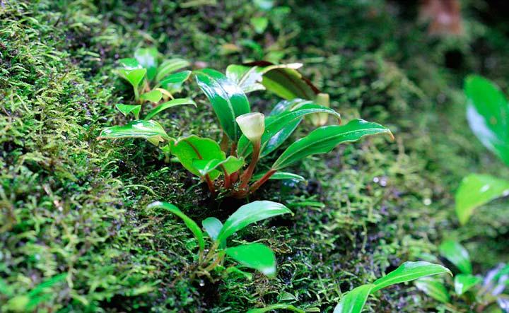 Цветок буцефаландры