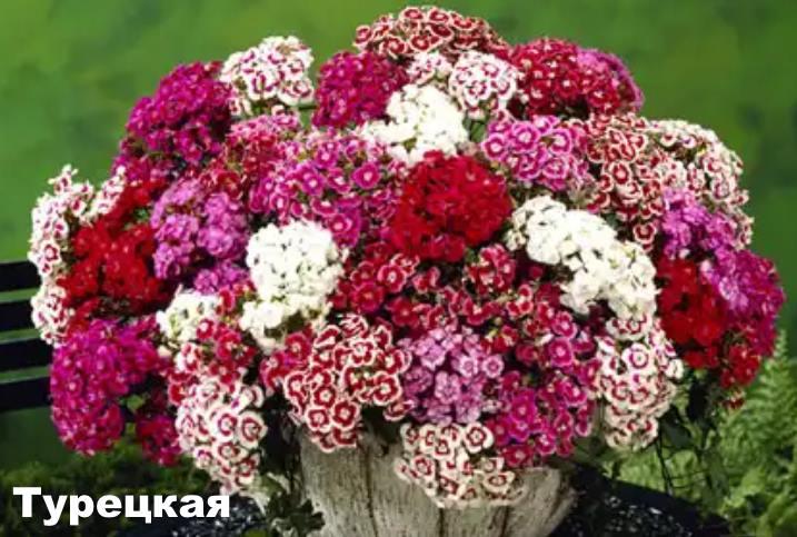 Вид растения - турецкая гвоздика