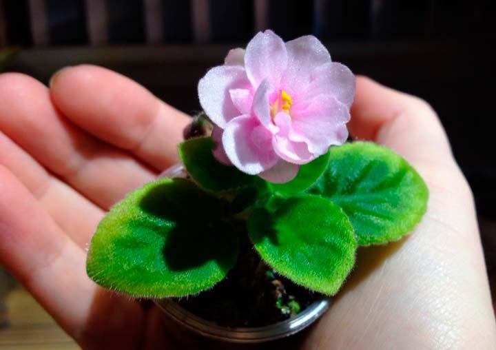 Уход за цветком сенполией