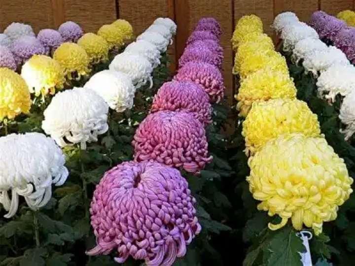 Крупноцветковые хризантемы