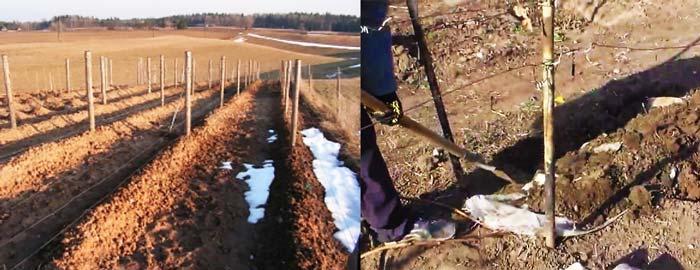Виноград укрыт землей