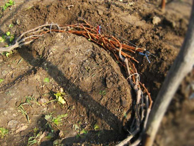 Траншеи для укрытия винограда
