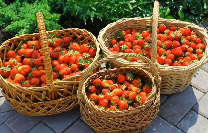 Хороший урожай клубники
