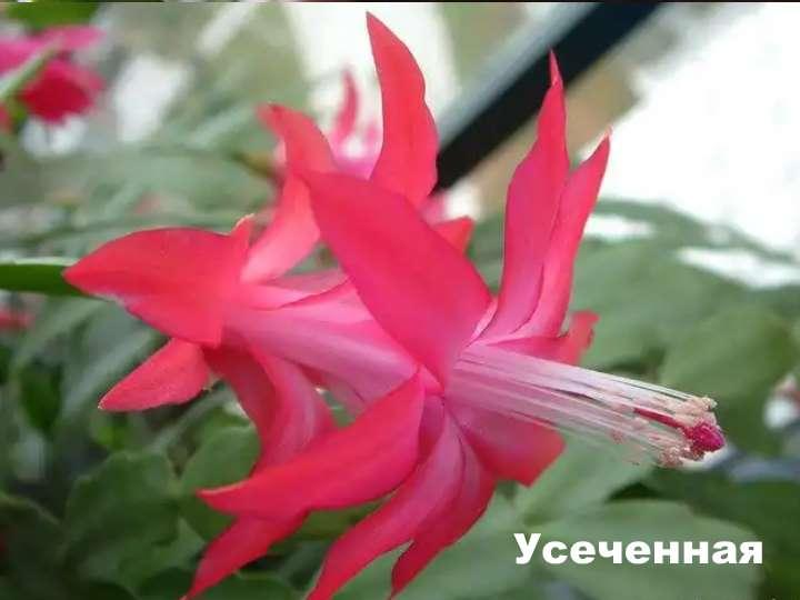 Вид растения - усеченная шлюмбергера