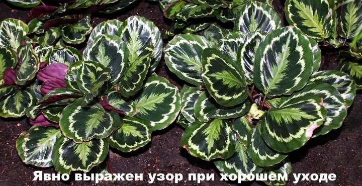 Яркие листья калатеи медальон
