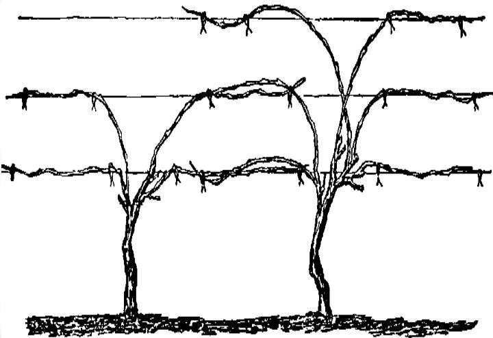 Схема веера при обрезке винограда