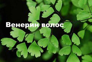 Растение венерин волос