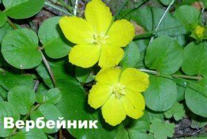 Цветы вербейника