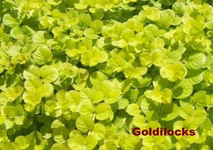Сорт вербейника Goldilocks