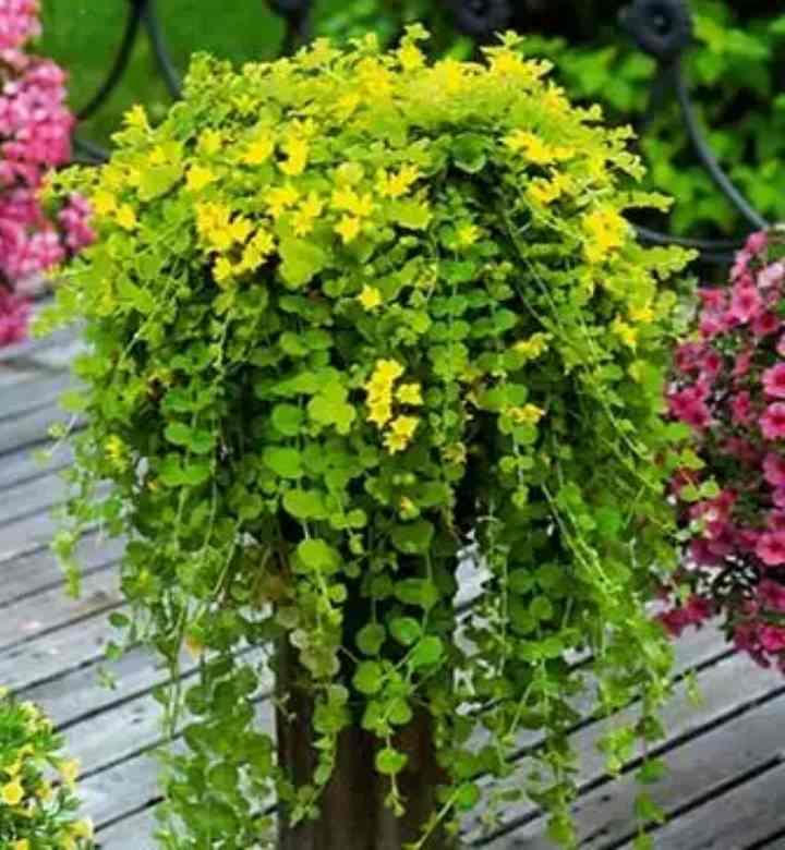 Струящиеся листья вербейника