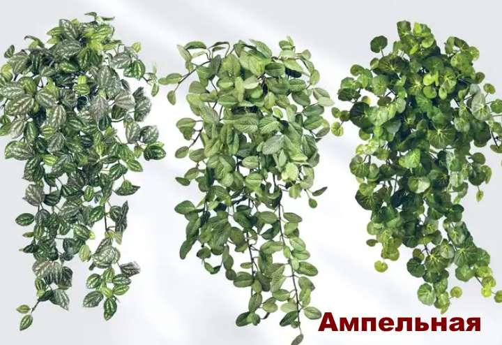 Растение вида пеперомии - Ампельная