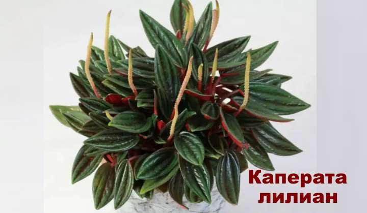 Растение вида пеперомии - Каперата лилиан