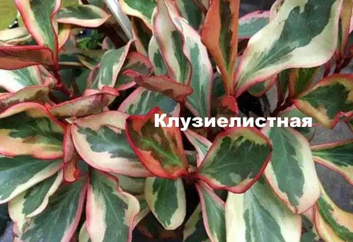 Растение вида пеперомии - Клузиелистная