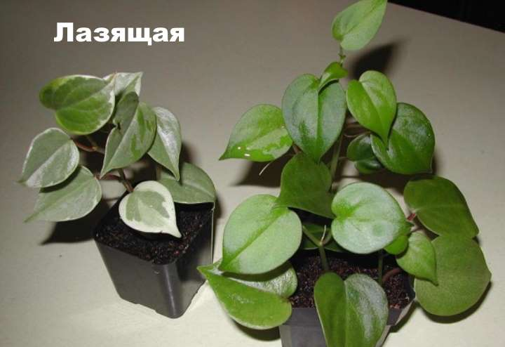 Растение вида пеперомии - Лазящая