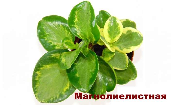 Растение вида пеперомии - Магнолиелистная