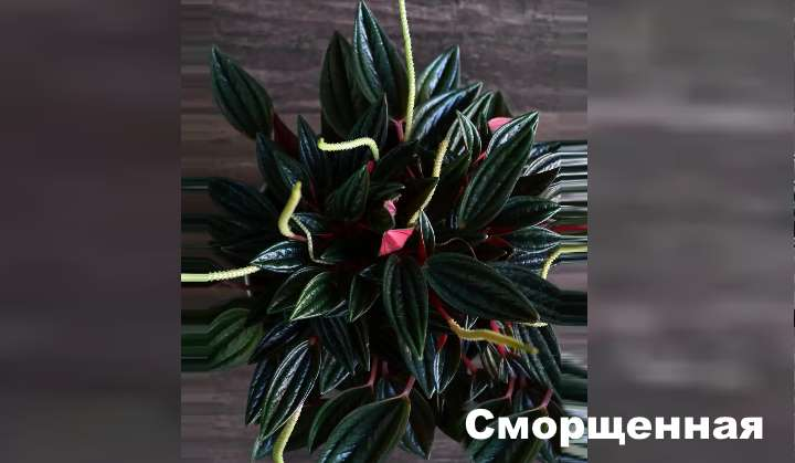 Растение вида пеперомии - Сморщенная