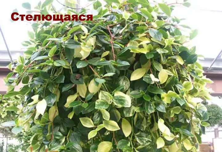 Растение вида пеперомии - Стелющаяся