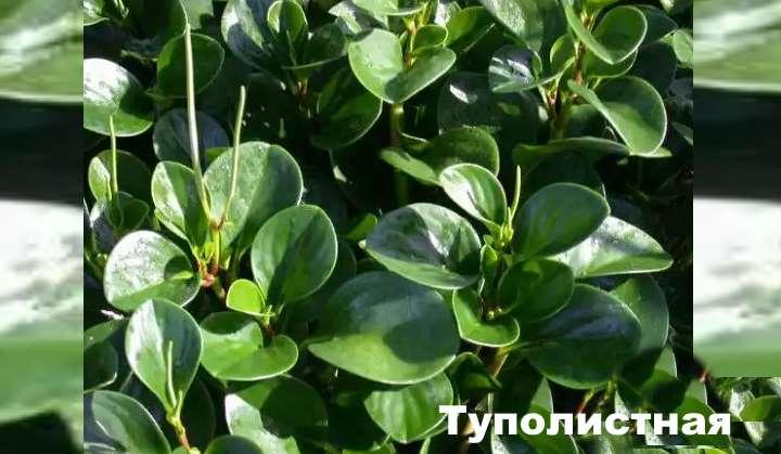 Растение вида пеперомии - Туполистная