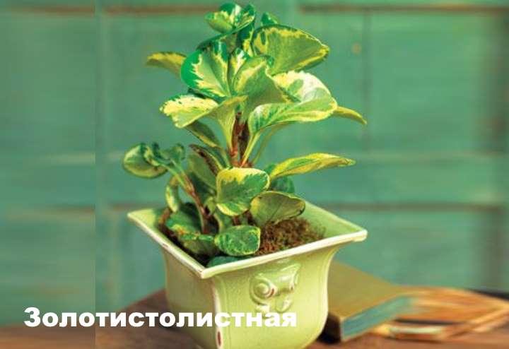Растение вида пеперомии - Золотистолистная