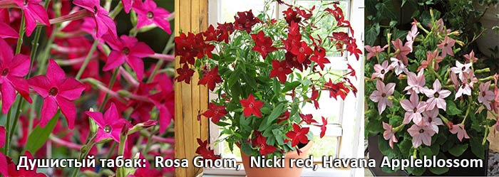 душистый табак: Rosa Gnom, Nicki red, Havana Appleblossom