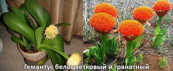 Гемантус белоцветковый и гранатный