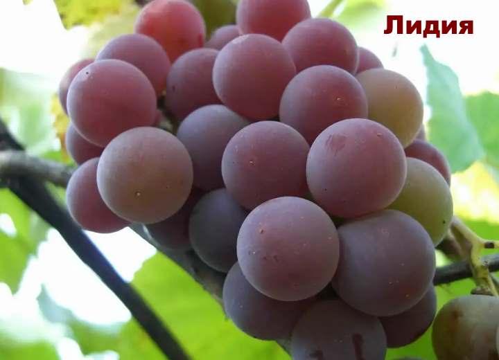 Сорт красного винограда