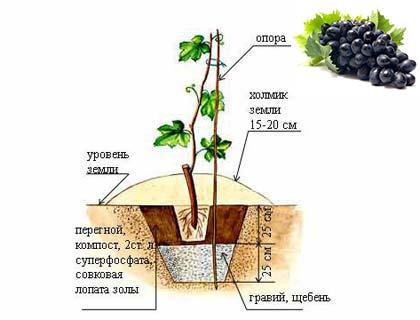 Схема посадки винограда, грунт и глубина