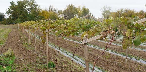 Виноградник кишмиша
