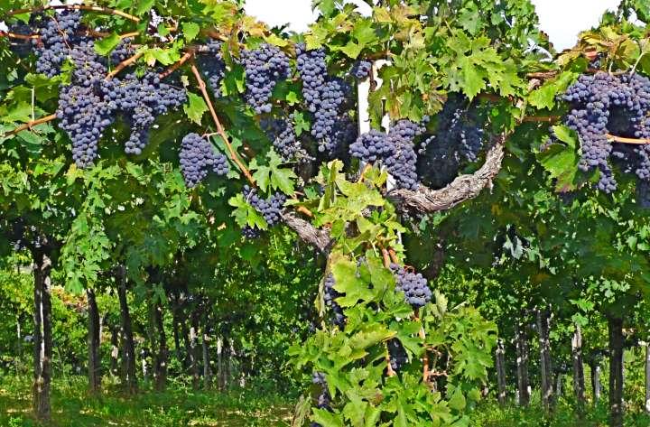 Виноград превратился в дерево