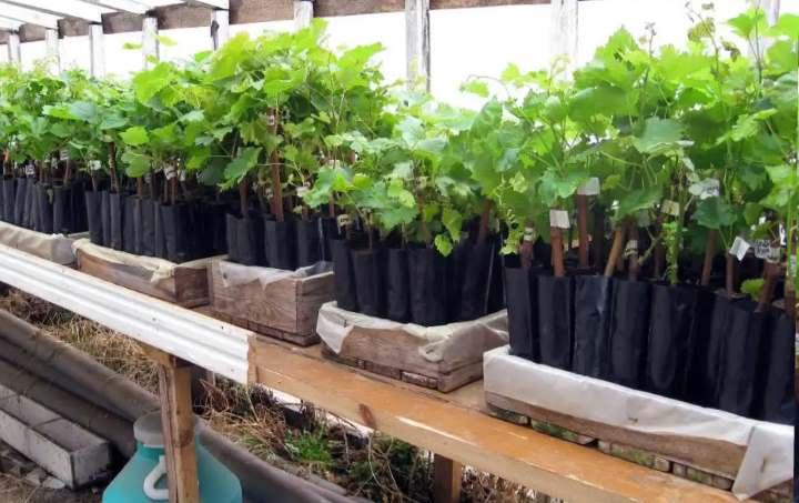 Виноград на передержке