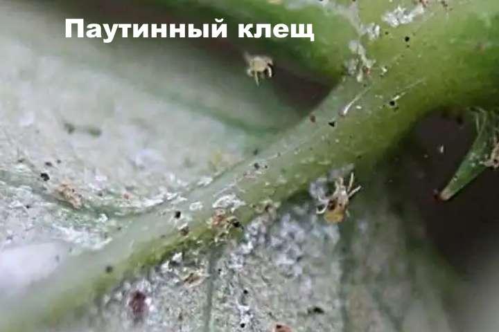 Паутинный клещ на пеперомии