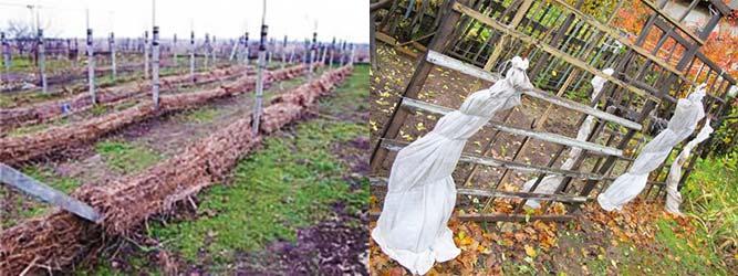 Укрытие винограда соломой пленкой и др варианты
