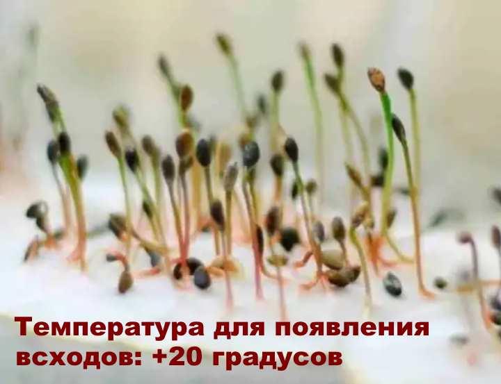 Ростки растения монарда