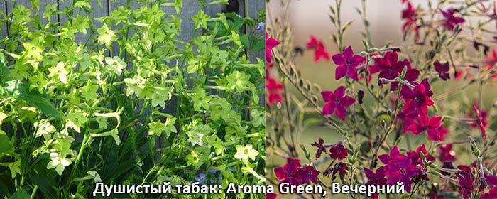 душистый табак Aroma Green и вечерний