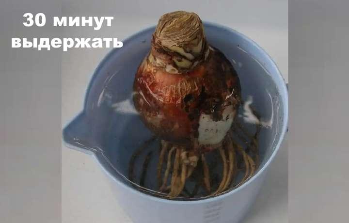 Луковица и янтарная кислота