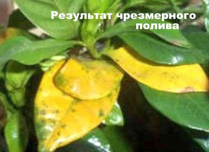 Чрезмерный полив эсхинантуса