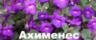 Куст ахименеса