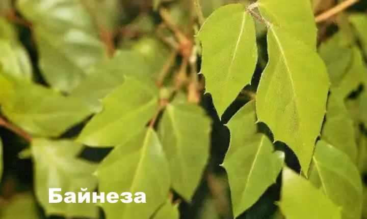 Вид растения - Байнеза циссус