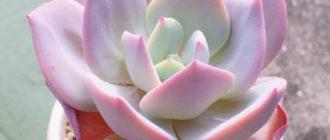 Эхеверия виды и разновидности каменной розы