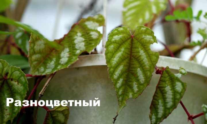 Вид растения - Разноцветный циссус