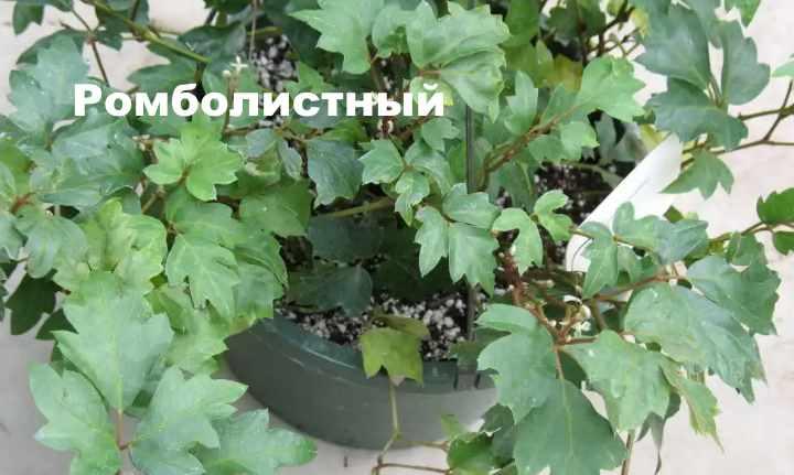 Вид растения - Ромболистный циссус