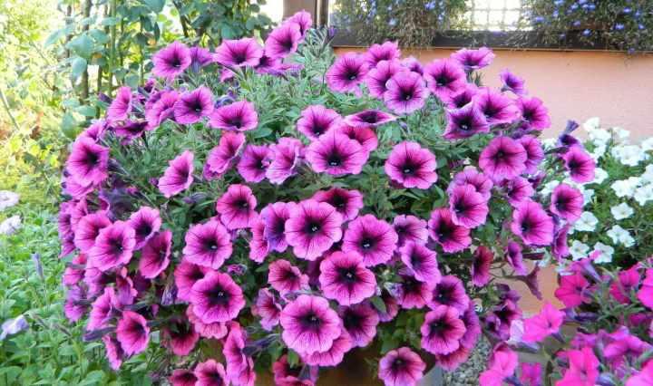 Фиолетовая петуния