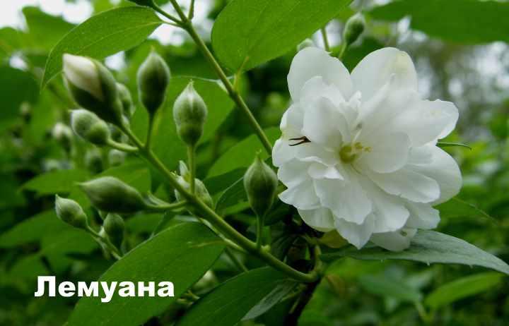 Сорт чубушника - Лемуана