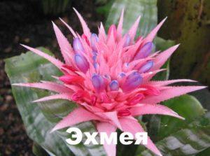 Цветение эхмеи