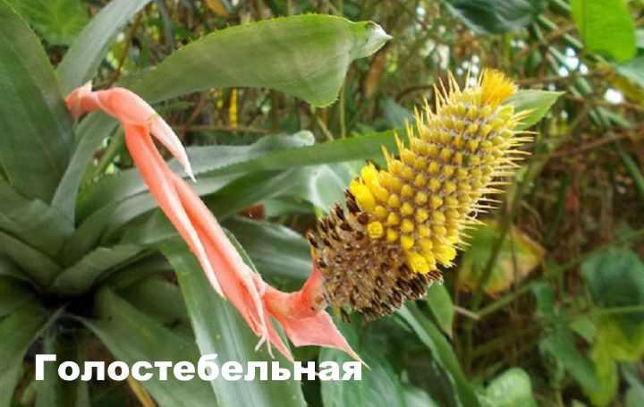 Вид растения - эхмея голостебельная