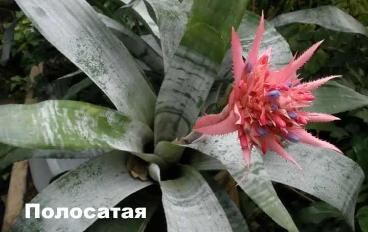 Вид растения - эхмея полосатая