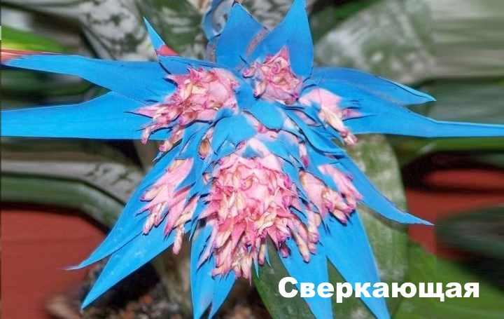 Вид растения - эхмея сверкающая