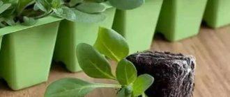 Горшочки с рассадой петуньи