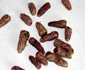 Размножение растения ахименес